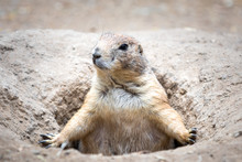 Close Up Of A Prairie Dog Popping Out Of Its Burrow And Looking Sideways