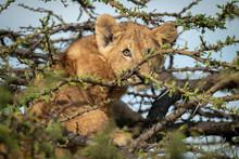 Lion Cub Sits In Thornbush Watching Camera