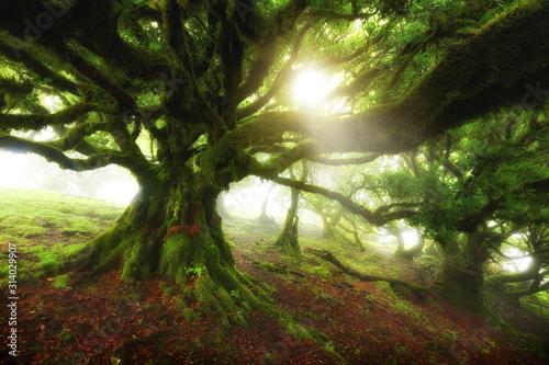 Old cedar tree in Fanal forest - Madeira island. Portugal