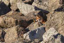 Red Fox On Big Rocks At The Co...