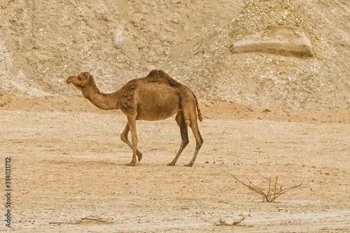 Desert landscape with camel Wallpaper Mural