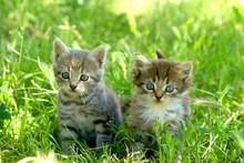 Two Little Striped Kittens Wit...