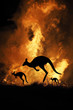 Leinwanddruck Bild - Bushfire IN Australia Forest Many Kangaroos And Other Animals Running Escaping To Save Their Lives, Evacuation destroyed silhouette.