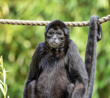 The Black-headed Spider Monkey, Ateles Fusciceps Is A Species Of Spider Monkey