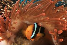 Clark's Anemonefish (Clownfish...