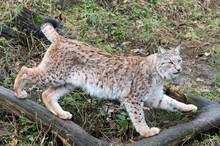 Lynx Running