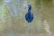 Blue Heron, Feet In The Water, Cahuita National Park, Costa Rica
