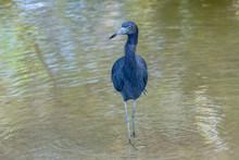 Blue Heron, Feet In The Water,...