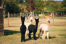 Black And White Alpaca In The Corral