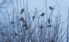 Sparrows Resting On The Bush A Frosty Day