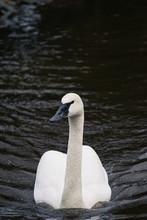 A Menacing Trumpeter Swan Swim...