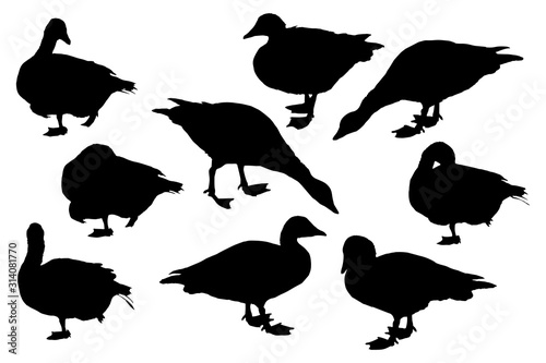 Photo Greylag goose birds silhouettes set on white background