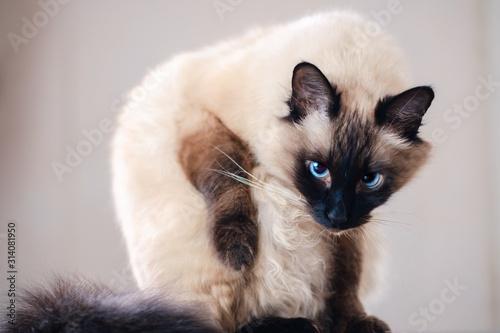 Photo domestic fur animal cat balinese. looking.