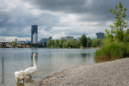 Photo Mute swans and old Danube river on a cloudy day