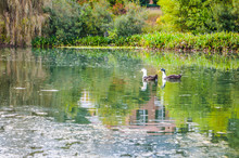 Two Ducks Swimming In Pond Wit...