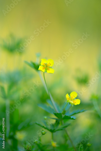 Tormentil, Potentilla erecta, this plant is used in herbal medicine Fototapeta