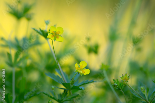 Fotografija  Tormentil, Potentilla erecta, this plant is used in herbal medicine