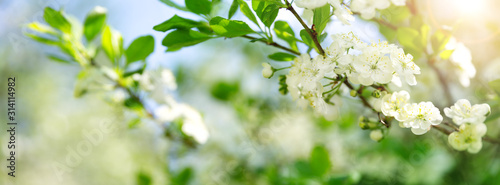 Obraz blurred plum tree background in bloom in spring - fototapety do salonu