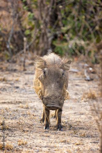 Photo  Adult warthog in Kruger National Park