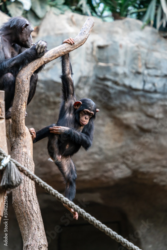 Photographie Young chimpanzee hanging on a tree