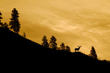 Whitetail Buck Deer With Trophy Antlers Standing On A Ridge Top Silhouetted Against A Colorful Sky At Sunrise