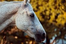 Pferdekopf Eines Schimmels In Grau Und Weiss