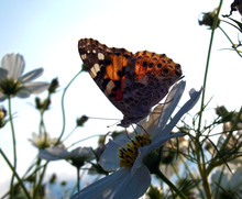 Painted Lady (vanessa Cardui) Butterfly And Blue Sky