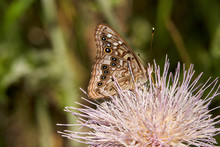 A Variegated Fritillary Butterfly With Its Wings Spread Open, Resting On A Pink Texas Thistle Bloom.