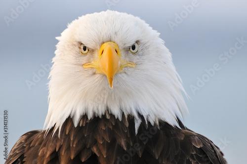 Bald eagle portrait Fototapet