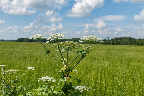 Fotografie, Obraz  cow parsnip blooms on a meadow in summer, Sosnowsky's hogweed, Heracleum sosnows