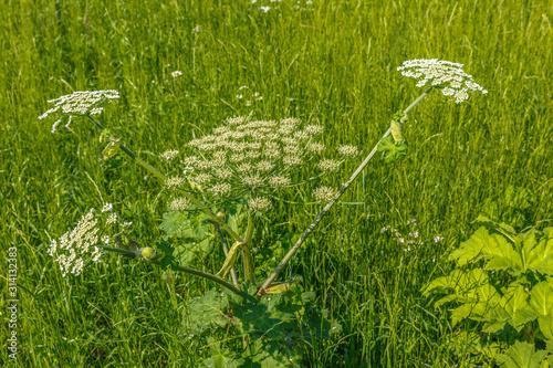 Fototapeta  cow parsnip blooms on a meadow, Sosnowsky's hogweed, Heracleum sosnowskyi