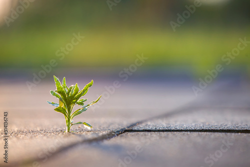 Close up of young little green plant starting to grow between concrete tiles in spring Canvas Print