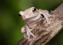 Grey Foam-nest Tree Frog