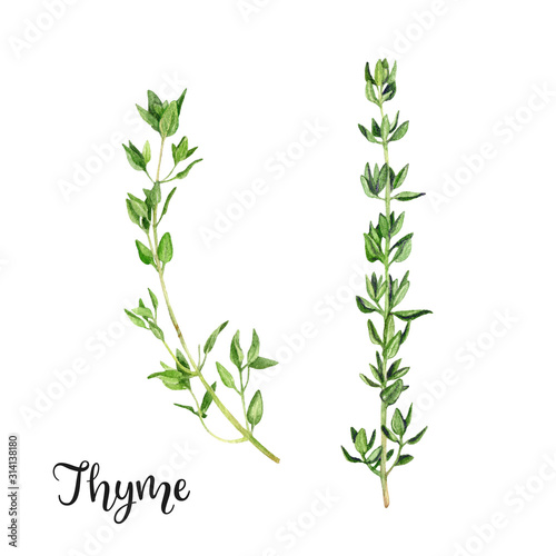 Fototapeta Thyme herb watercolor isolated on white background