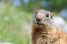 Wilde Marmot In Dolomites Italy