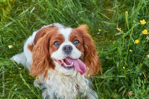 Stampa su Tela Charming Cavalier King Charles spaniel lying on a green grass