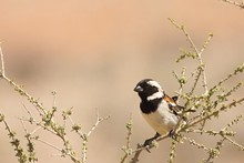 The Cape Sparrow (Passer Melan...