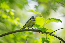 The Eurasian Blue Tit (Cyanistes Caeruleus) Is A Small Passerine Bird In The Tit Family Paridae. The Eurasian Blue Tit (Cyanistes Caeruleus) With Baby Food.