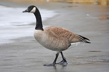 Canadian Goose Walking On Ice