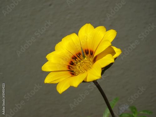 Beautiful yellow gazania rigens flower Wallpaper Mural
