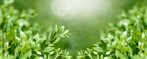 background panorama fresh, young boxwood leaves close-up, spring background, Fototapete