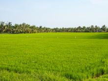 Lush Green Rice Paddock In The...