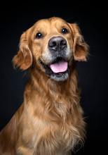 Portrait Of Golden Retriever D...
