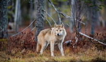Eurasian Wolf, Also Known As T...