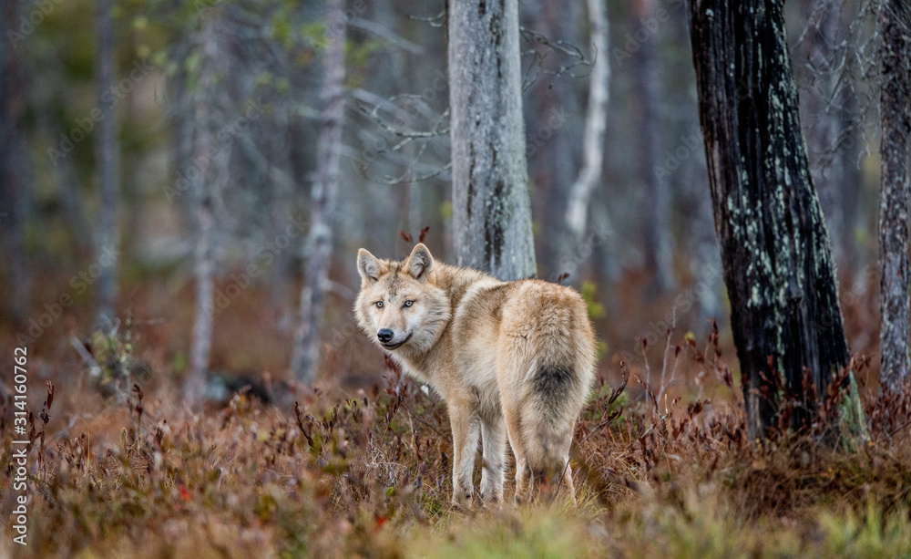 Fototapeta Eurasian wolf, also known as the gray or grey wolf also known as Timber wolf.  Scientific name: Canis lupus lupus. Natural habitat. Autumn forest.