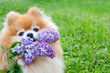 red pomeranian spitz with branch of lilac on green background. dog carries a bouquet, performs a command. flower delivery. copy space