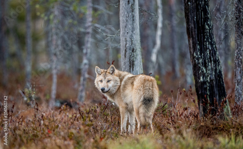 Fototapeta Eurasian wolf, also known as the gray or grey wolf also known as Timber wolf.  Scientific name: Canis lupus lupus. Natural habitat. Autumn forest. obraz
