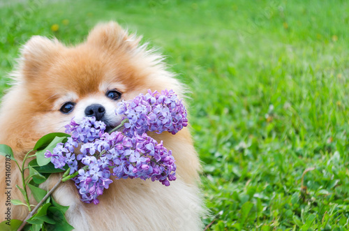 Obraz red pomeranian spitz with branch of lilac on green background. dog carries a bouquet, performs a command. flower delivery. copy space - fototapety do salonu
