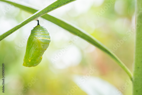 Monarch Butterfly Chrysalis Hanging on  Leaf Macro, Selective Focus with Copy Sp Canvas Print