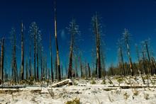 Burned Trees In Winter Against...